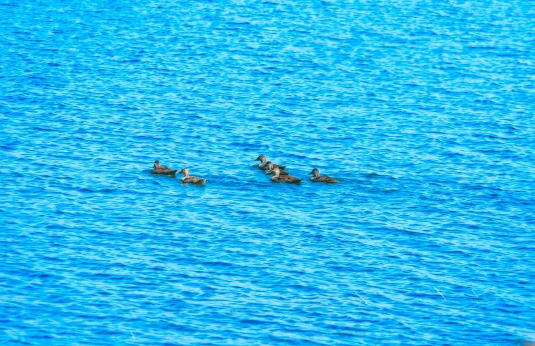 Birds - Merganzers Ducks-6532-Edit copy1