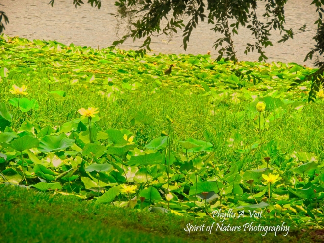 YELLOW WATER LILIES -3326 copy1-1 sig